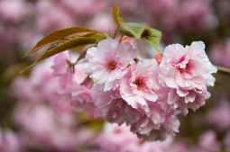 flower-pink-petals-tree.jpg